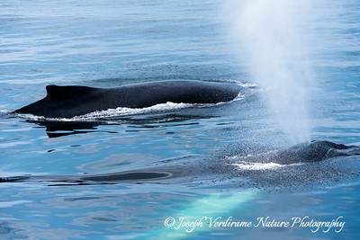Humpback Whales surfacing (1)