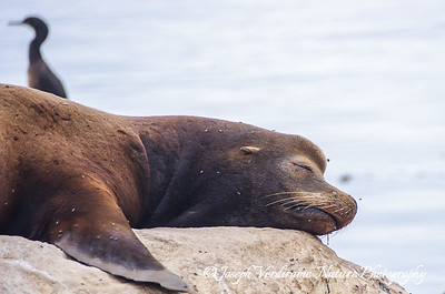 California Sea Lion snoozing