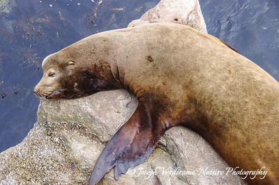 California sea lion at rest