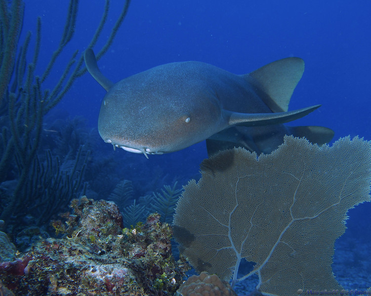 Nurse Shark on the Reef in Ambergris Caye