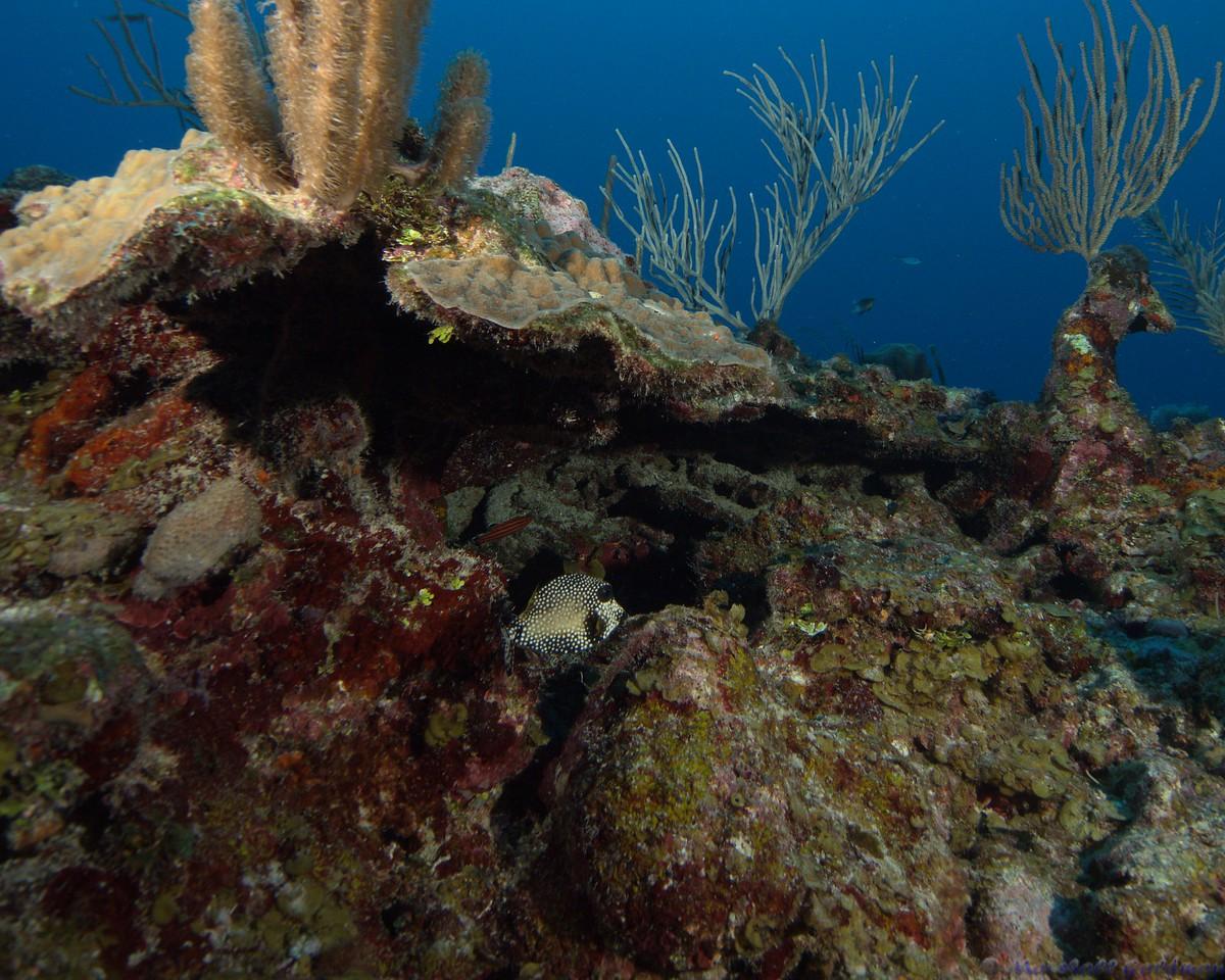 Belize-Dec13-Reef-Fish-2-SmoothTrunkfish