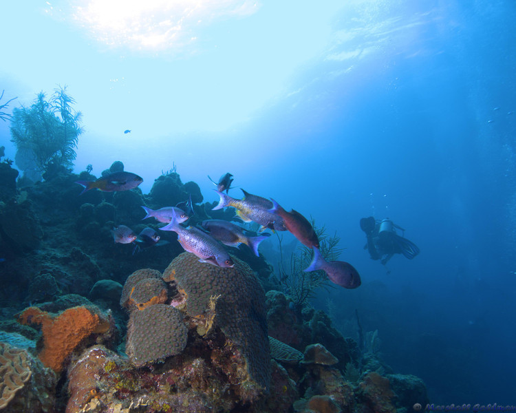 Belize-Dec13-Parrotfish-12