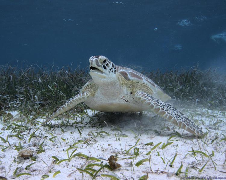 Belize-Dec13-Turtle-14