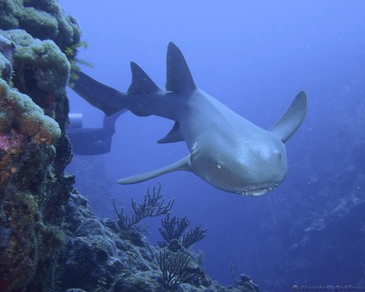 Belize-Dec13-NurseShark-30