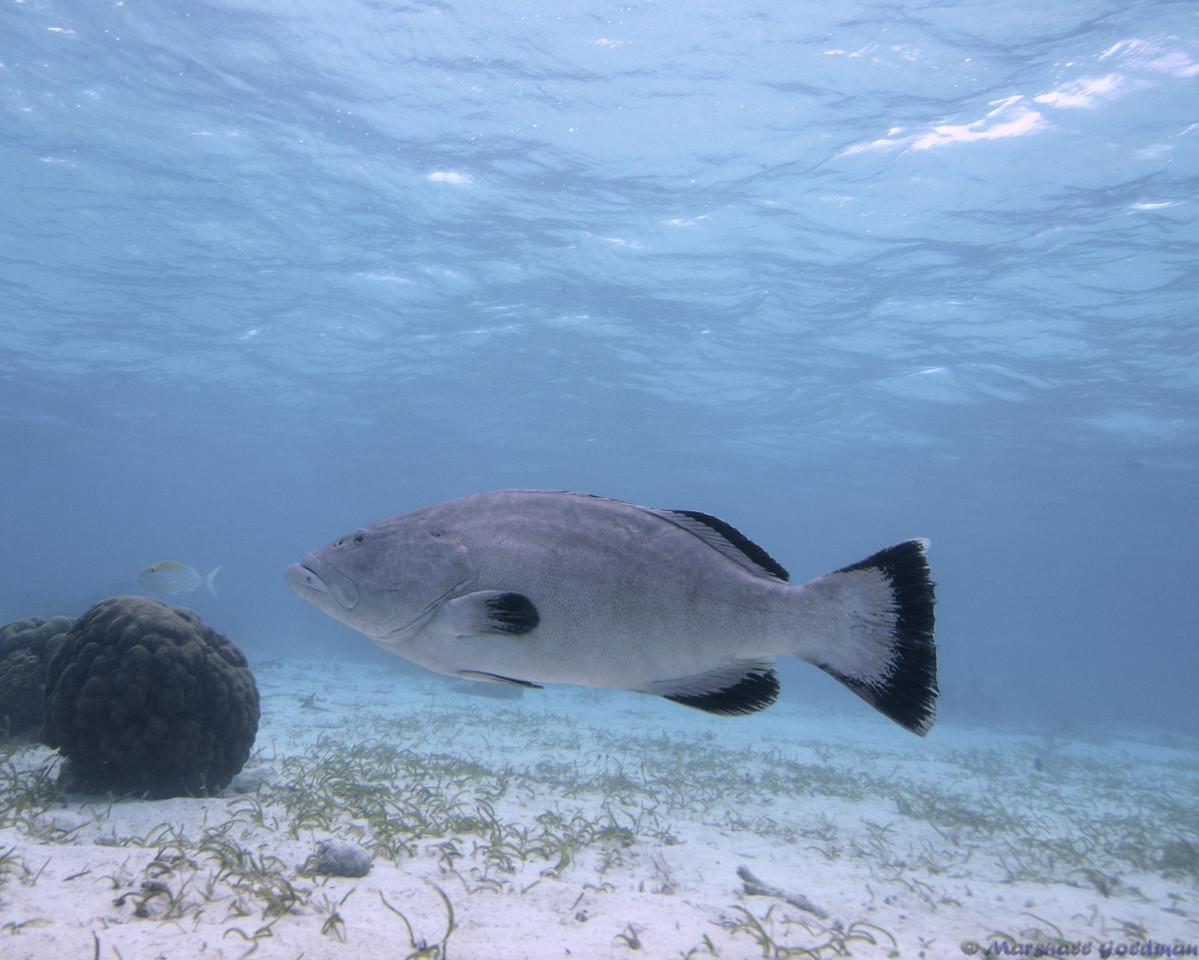 Belize-Dec13-BlackGrouper-1.tif
