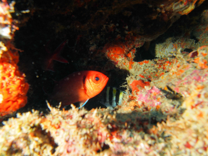 Blackbar Soldierfish WPB 50412