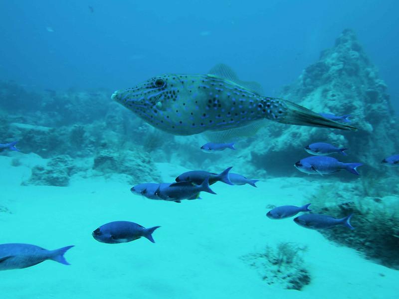 Scrawled Filefish2  WPB 50412