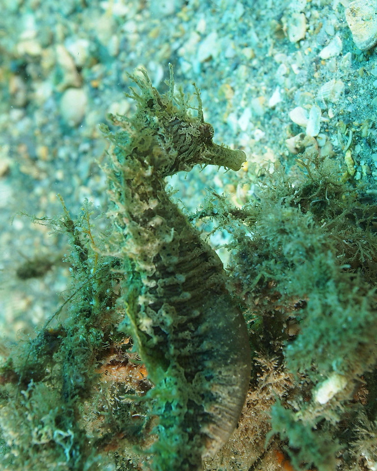 Lined Seahorse BHB50412