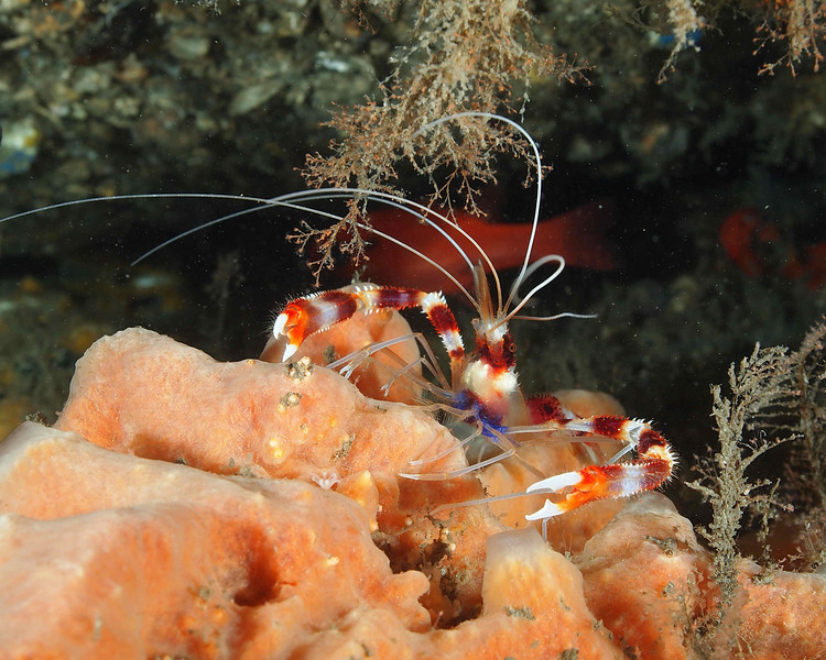 Banded Coral Shrimp2 BHB50412