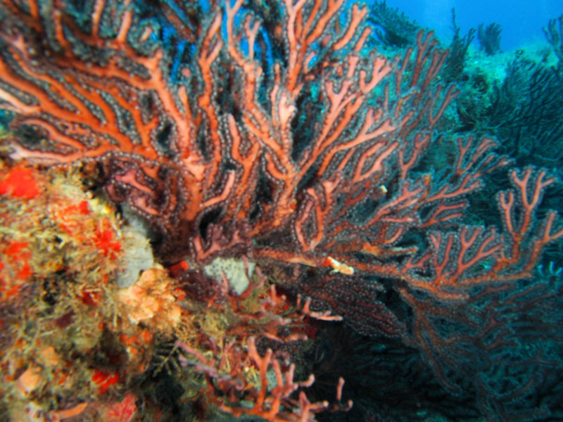 Coral  WPB 50412