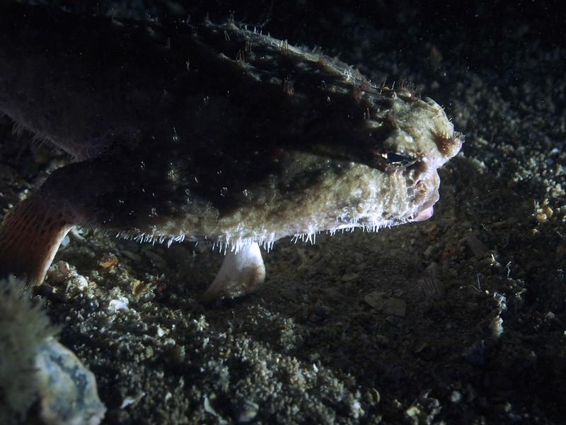 Shortnose Batfish at night BHB50412