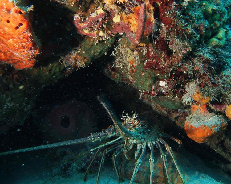 Spiny Lobster1 wpb50412