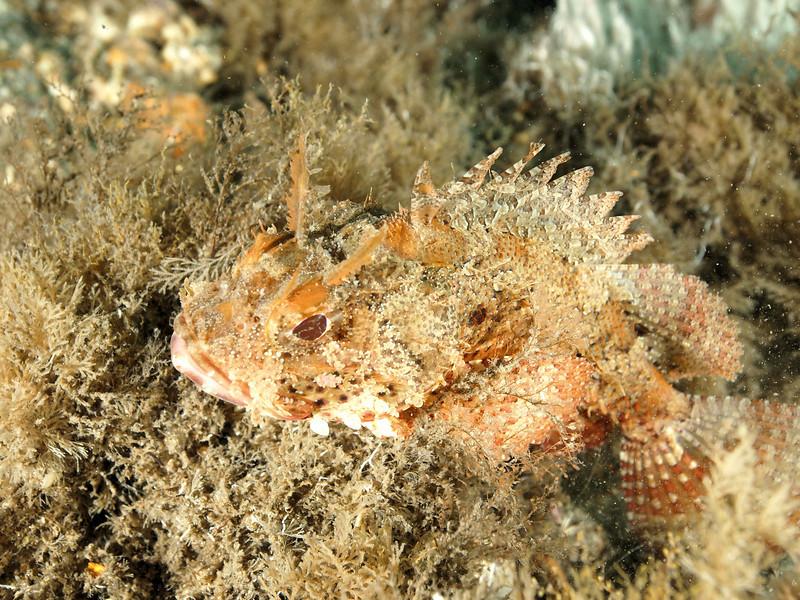 Plumed Scorpionfish3  BHB 50412