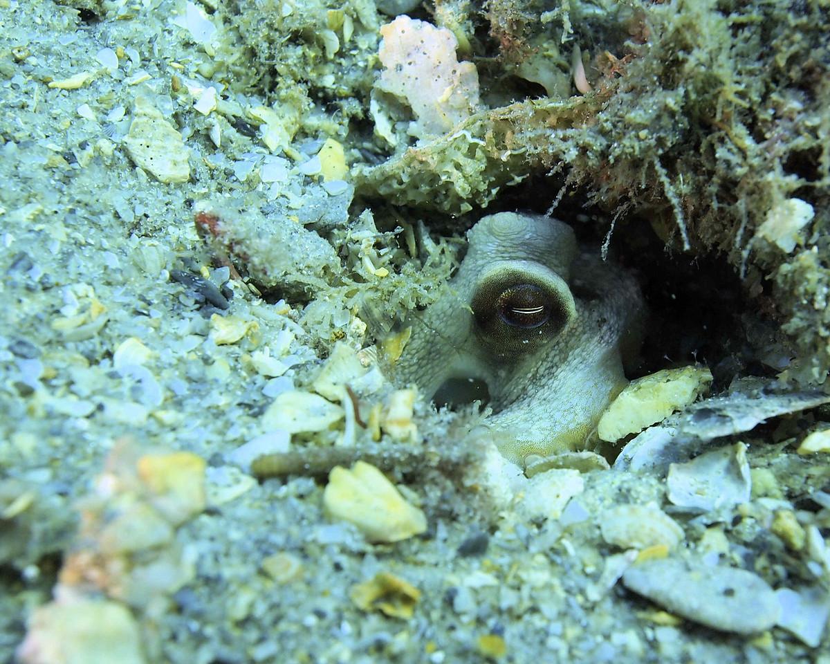 Octopus  BHB50412