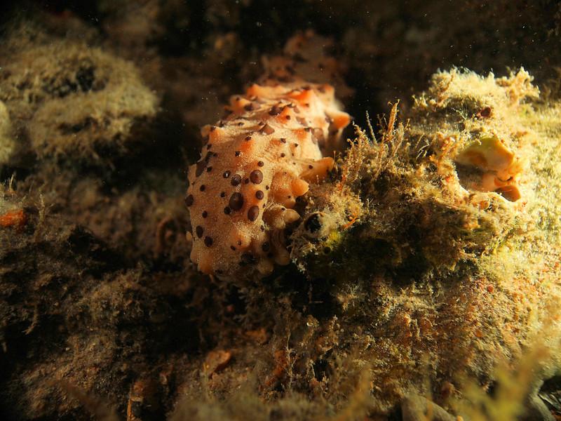 Sea Cucumber2  BHB 50412