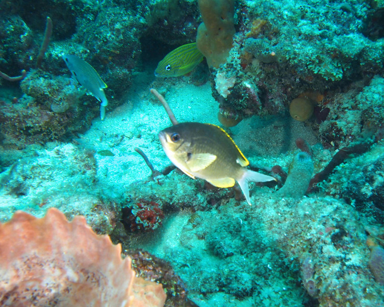 Brown Chromis2 WPB 50412