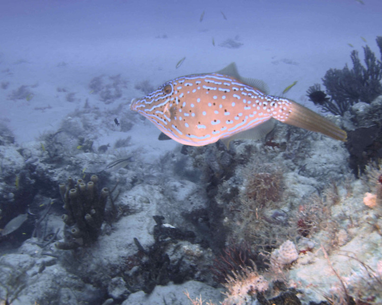 Scrawled Filefish  WPB 504120