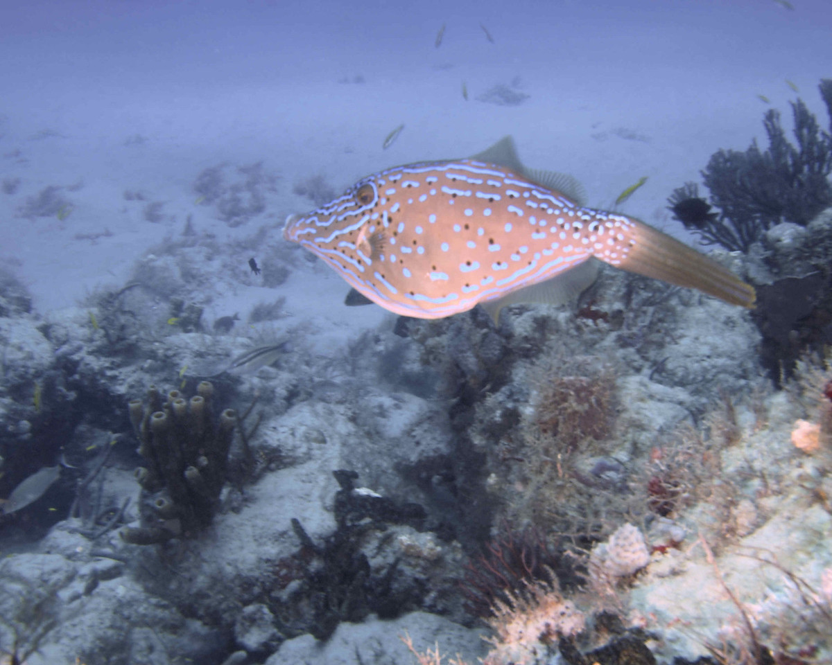 Scrawled Filefish  WPB 504120