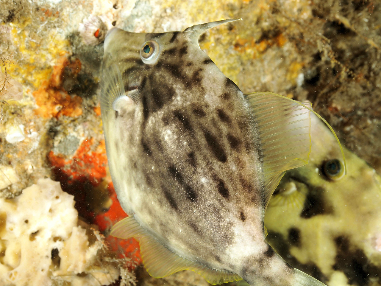 Planehead Filefish2 BHB 50412