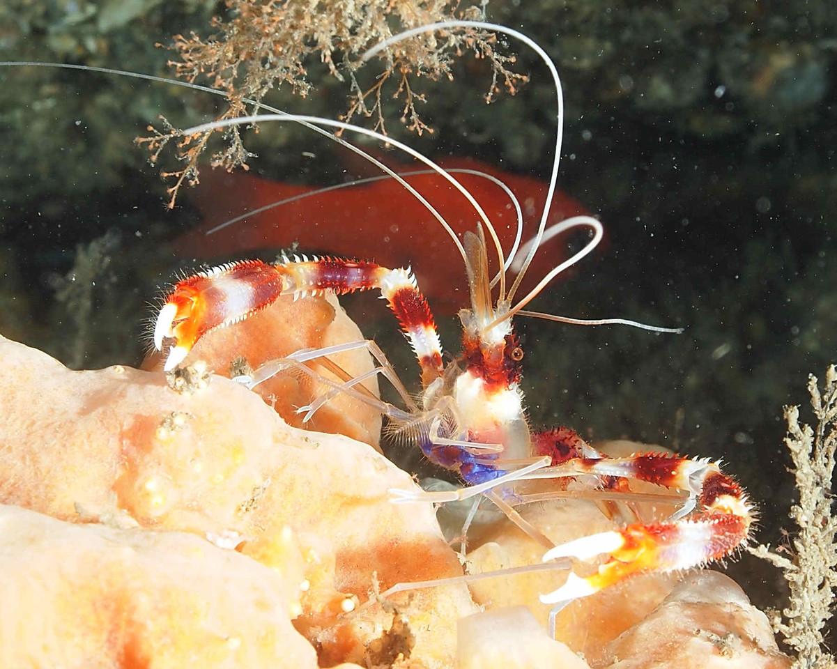 Banded Coral Shrimp1 BHB50412