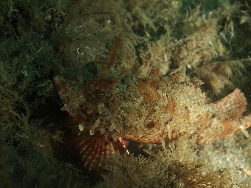 Plumed Scorpionfish BHB 50412086