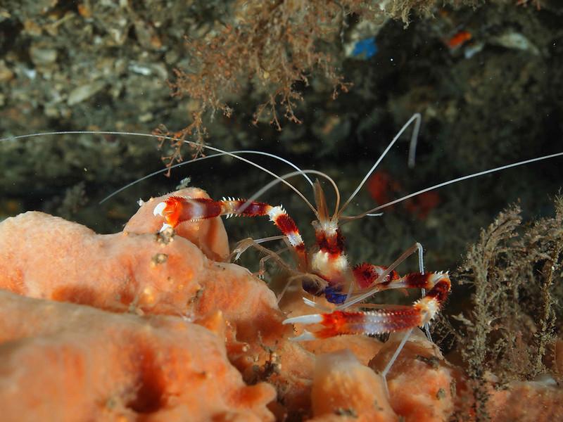 Banded Coral Shrimp3 BHB50412