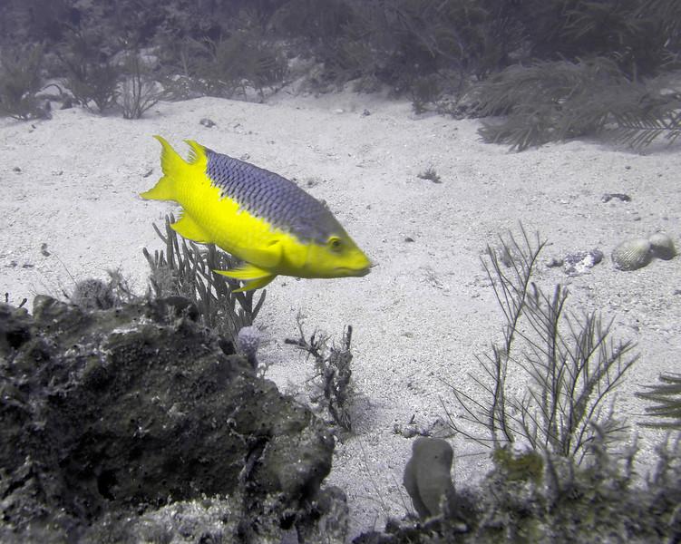 Spanish Hogfish WPB 50412