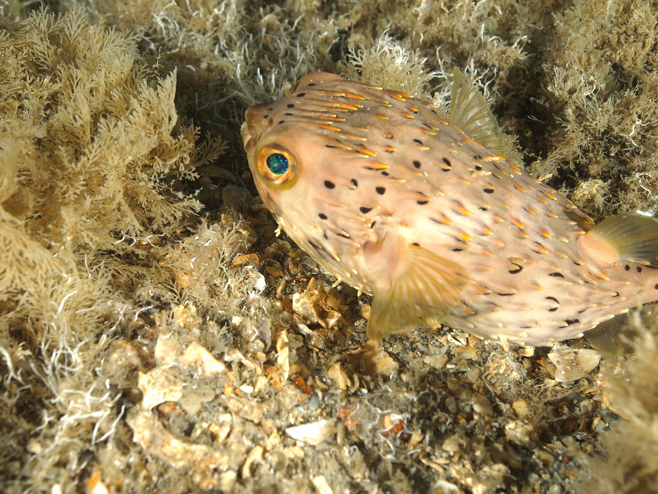 Baloonfish BHB50412