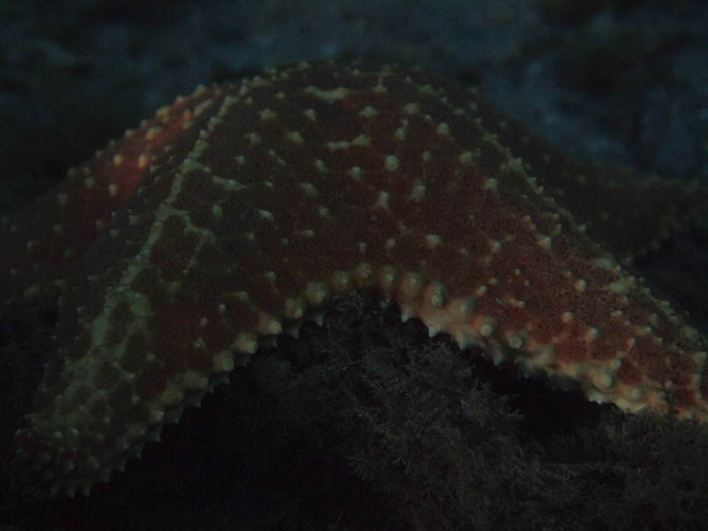 Cushion Seastar at Night BHB 50412