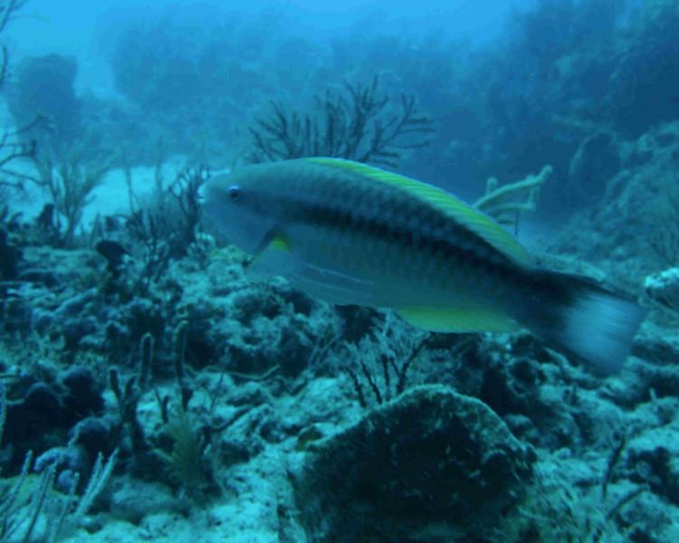 Princess Parrotfish-WPB 50512