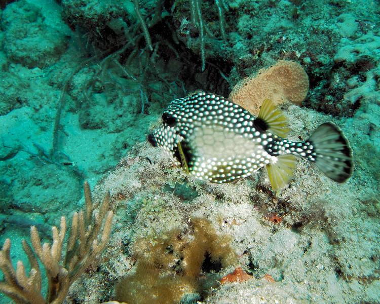 SmoothTrunkfish WPB 50412