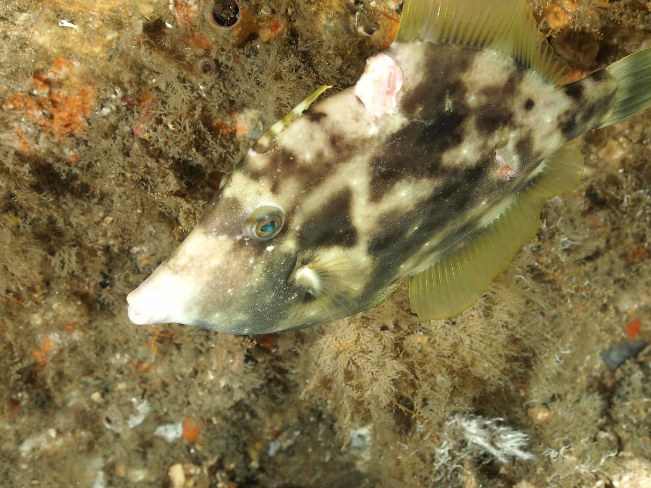 Planehead Filefish BHB 50412
