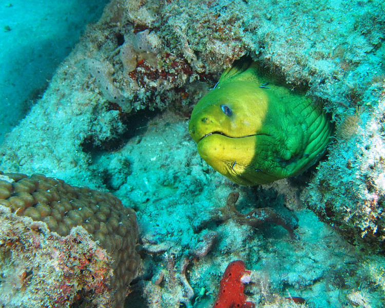 """This guy was one of the largest Green Morays I have ever seen. Body behind the head is approximately 5-6"""" across. Also notice the cleaner gobys on his body just behind the head."""