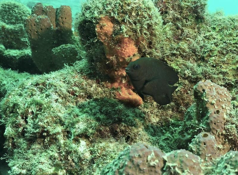 Bonaire-2018-Critters-Dusky Damselfish-DSCI1675 (2)