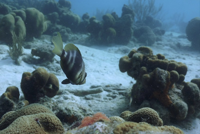 Bonaire-2018-Critters-Barred Hamlet-DSCI1775 (2)