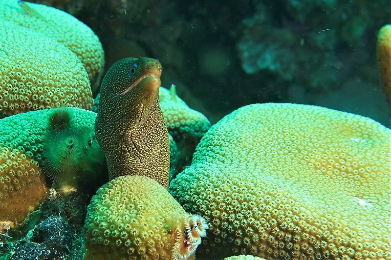 Bonaire-2018-Critters-Moray-DSCI1268 (2)