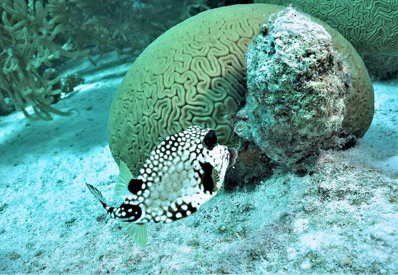 Bonaire-2018-Critters-Trunkfish-DSCI1949 (2)