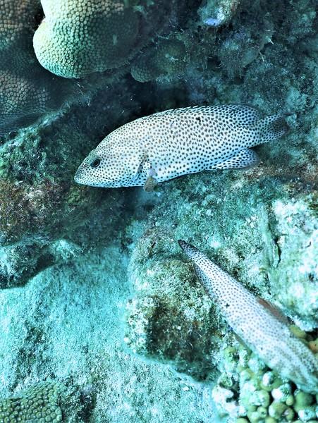 Bonaire-2018-Critters-Graysby-DSCI1940 (2)