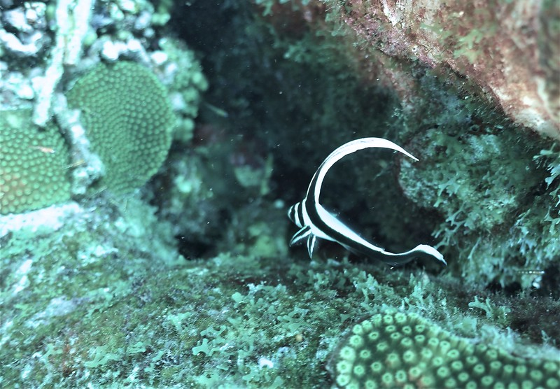 Bonaire-2018-Critters-Spotted Drumfish-Juvi-DSCI1587 (2)