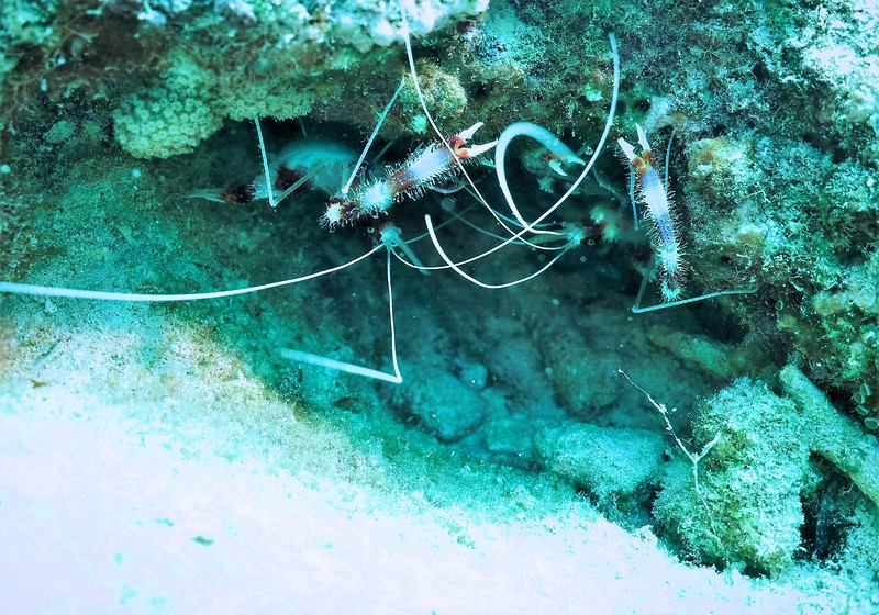 Bonaire-2018-Critters-Banded Coral Shrimp-DSCI1942 (2)