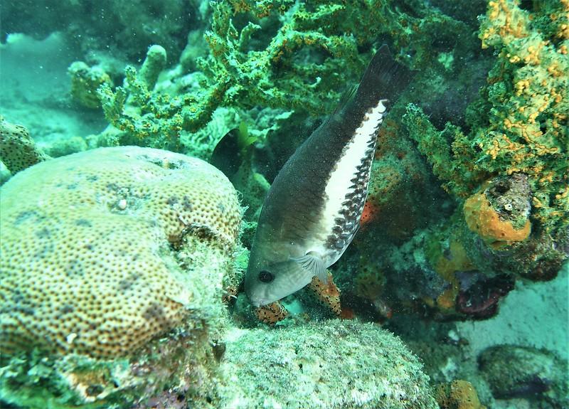 Bonaire-2018-Critters-Princess Parrotfish Initial Ph-DSCI1273 (2)