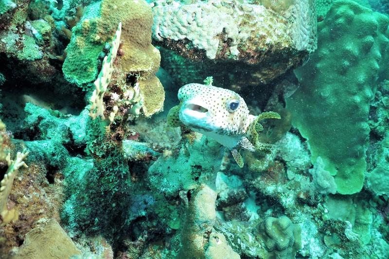 Bonaire-2018-Critters-Porcupinefish-DSCI1562 (2)