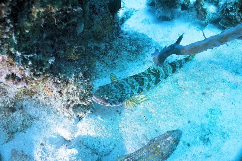 Bonaire-2018-Critters-Lizardfish-DSCI1990 (2)