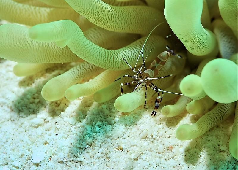 Bonaire-2018-Critters-Anenome Shrimp-DSCI2011 (2)