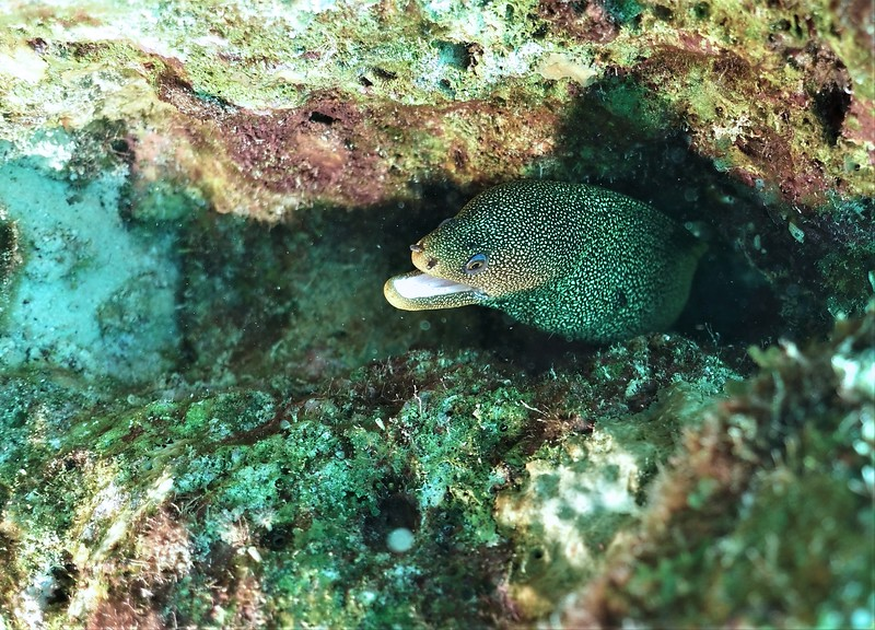 Bonaire-2018-Critters-Moray-DSCI1967 (2)