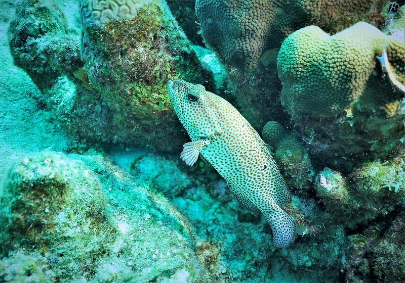 Bonaire-2018-Critters-Graysby-DSCI1941 (2)