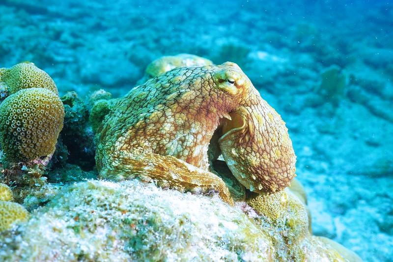Bonaire-2018-Critters-Octo-DSCI1534 (3)