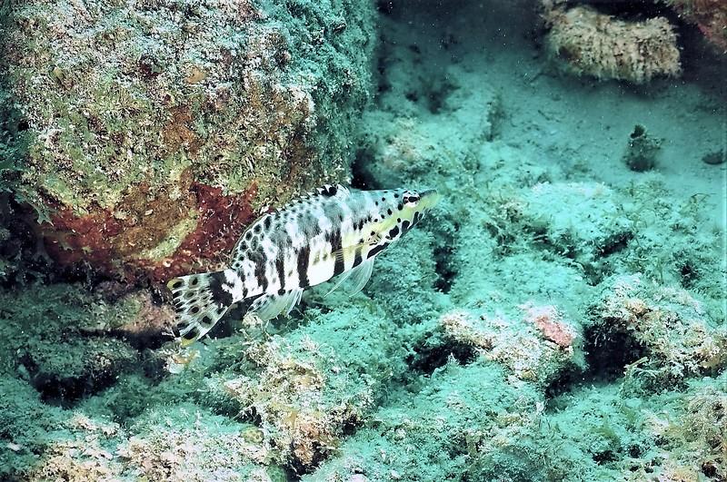 Bonaire-2018-Critters-Harlequin Basslet-DSCI1899 (2)