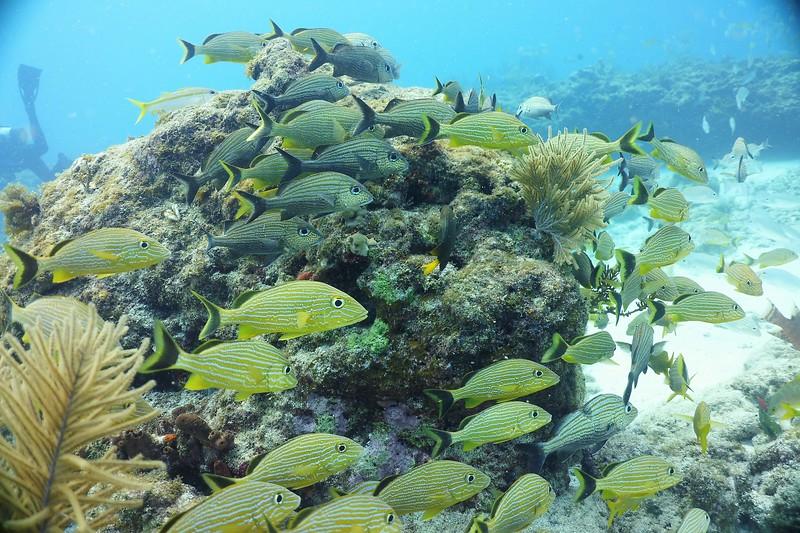 Bonaire-2018-Critters-Grunts-DSCI1141 (2)