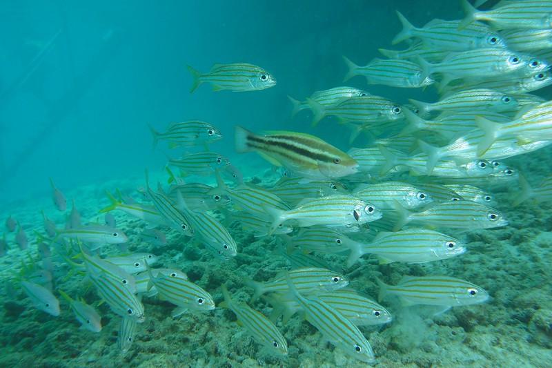 Bonaire-2018-Critters-Tarpon-Smallmouth Grunts and Parrotfish-DSCI1311